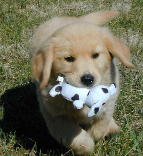 kjen golden retriever puppy kylie
